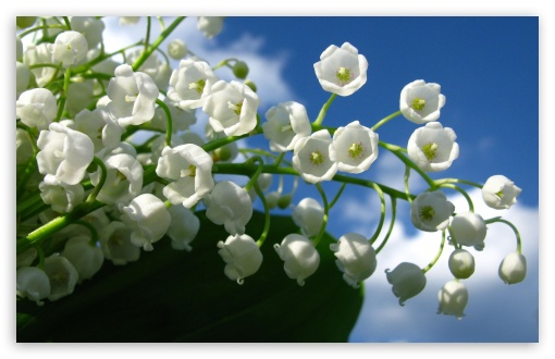 lily_of_the_valley_flower-t2.jpg