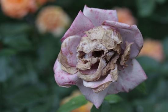 Skull-Rose-550x366.jpg